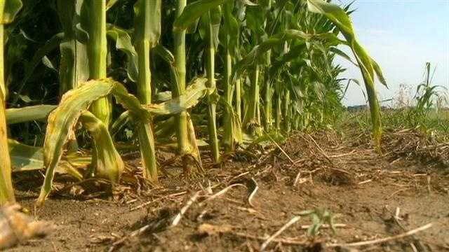 Triple-digit temperatures and a lack of rain are jeopardizing Iowa's multibillion-dollar corn and soybean industry, authorities said Thursday.