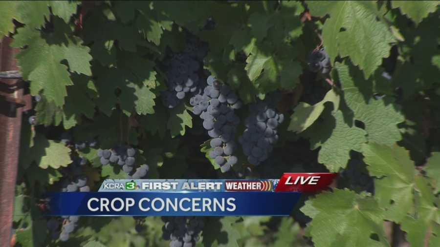 The grape harvest is underway and if the rain continues it could rot and decay the crop.
