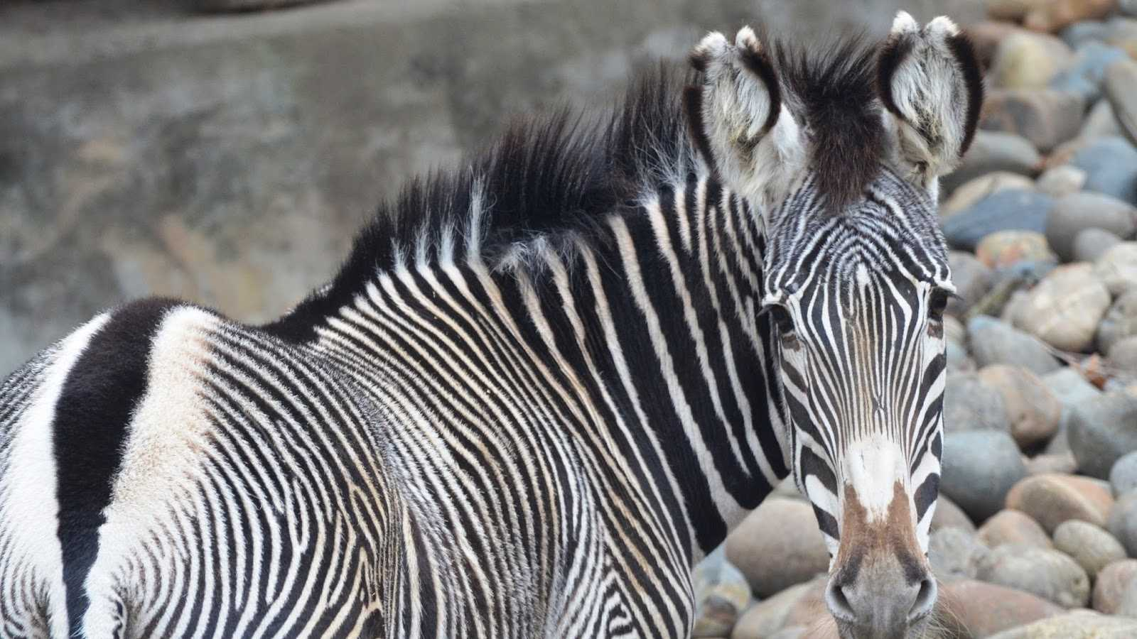 Mara the Grevy's Zebra died Sunday, officials said.