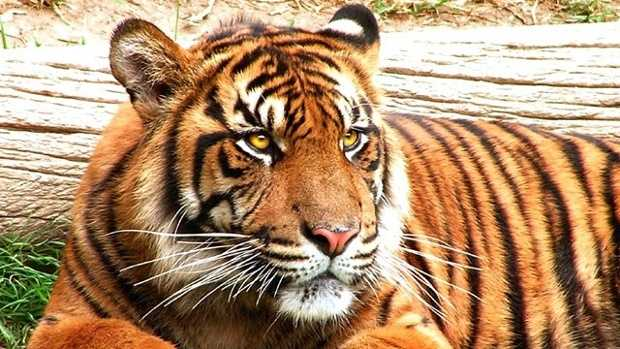 People living near a tiger safari in Oklahoma can sleep more soundly Wednesday night.