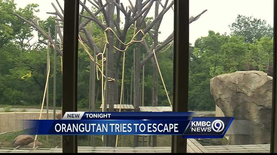 Kansas City Zoo visitors were taken into buildings for safety after one of the zoo's orangutans reached the outer perimeter wall of its exhibit Sunday.