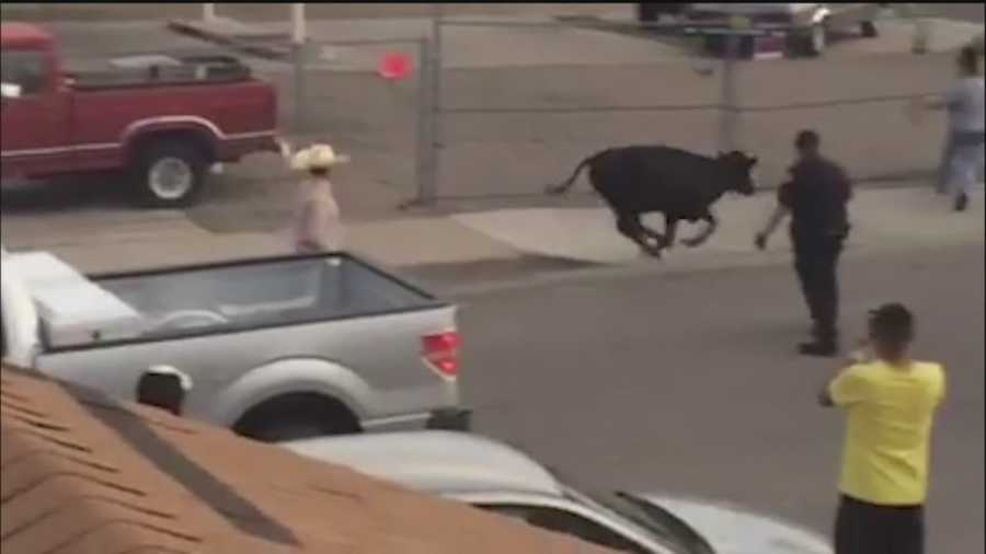 Police, Deputies and Animal Control officers were busy yesterday after 4 steers escaped.