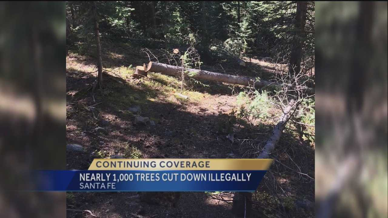 We told you about people illegally cutting down trees in the Santa Fe national forest, now even more trails have been found bringing the total to a thousand trees.