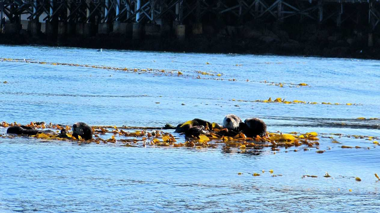 Sea otters hang out in kelp off Monterey's shore.