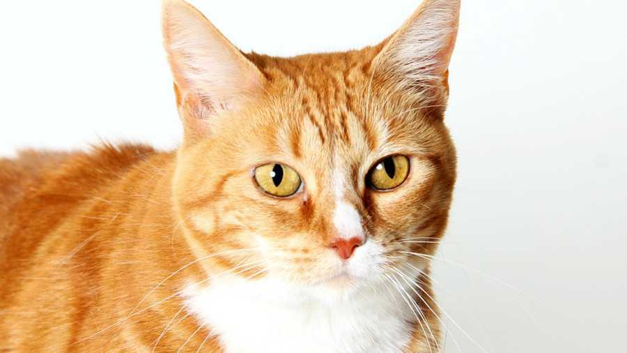 This orange cat is one of many furry animals at the Salinas Animal Services that needs a home urgently.