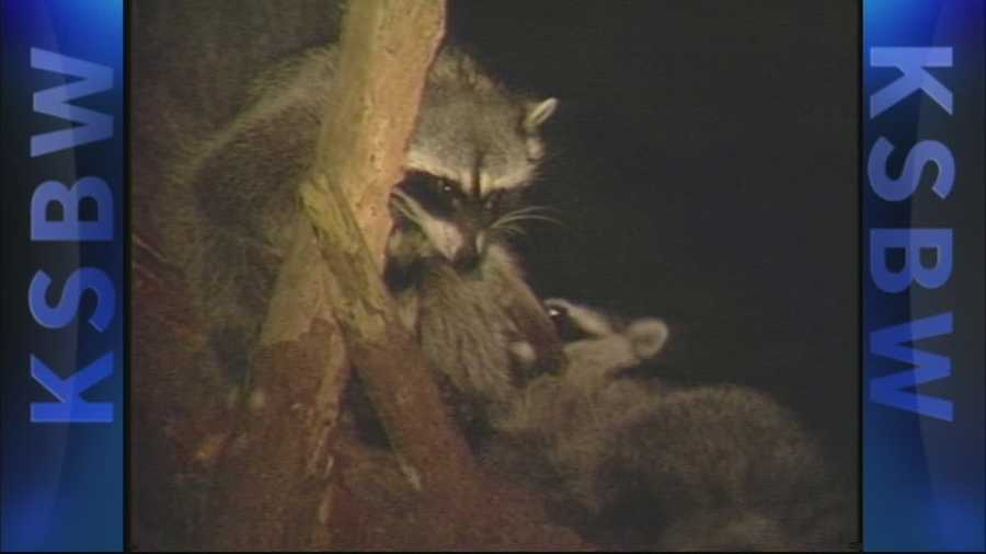 People who live in Pacific Grove say they're seeing raccoons in droves. Is it the drought or that America's last hometown has always been a favorite raccoon hang out?