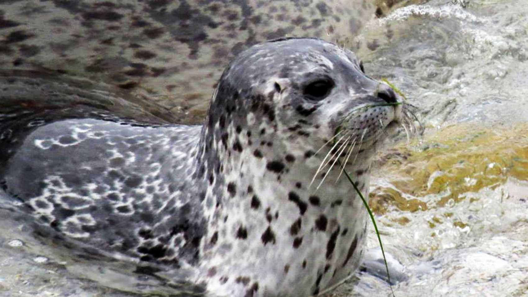 This harbor seal pup was born in Pacific Grove recently.