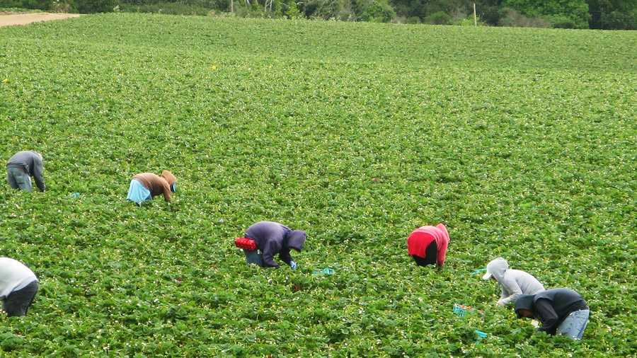 Fieldworkers harvest strawberries south of Aptos.  (June 10, 2014)