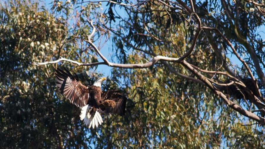 A bald eagle soars above Pinto Lake Park in Watsonville.  (Photo by Efren Bauer Adalem)