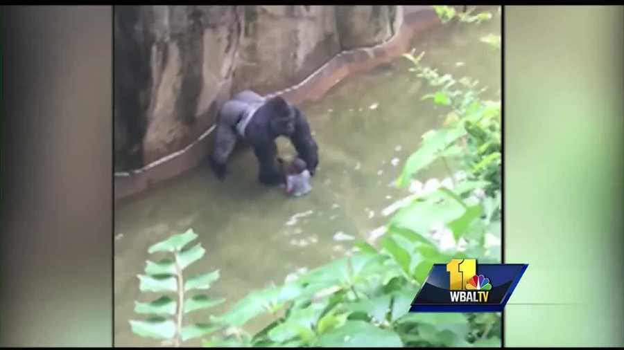 A zoo incident in Cincinnati has raised questions about whether something like that could happen closer to home. The curator of the Maryland Zoo in Baltimore about how staff there work to prevent emergencies.