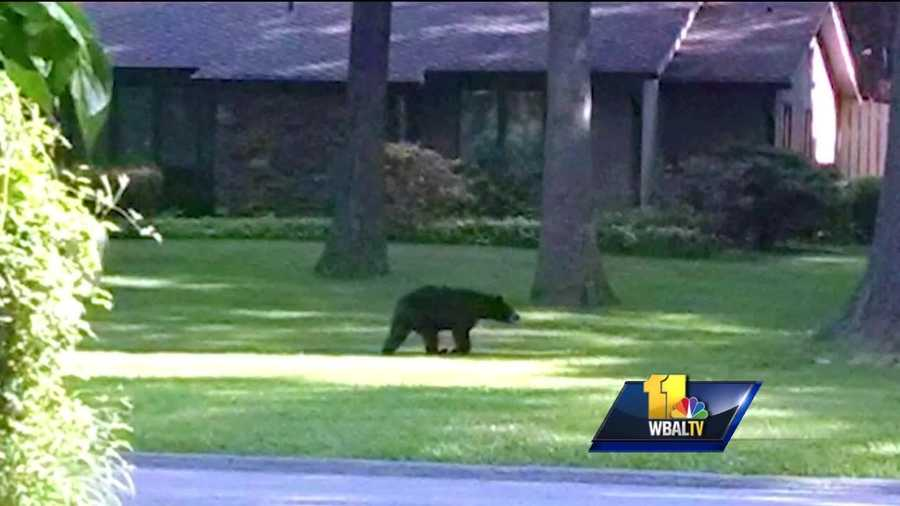 A black bear was spotted in Howard County on Saturday.