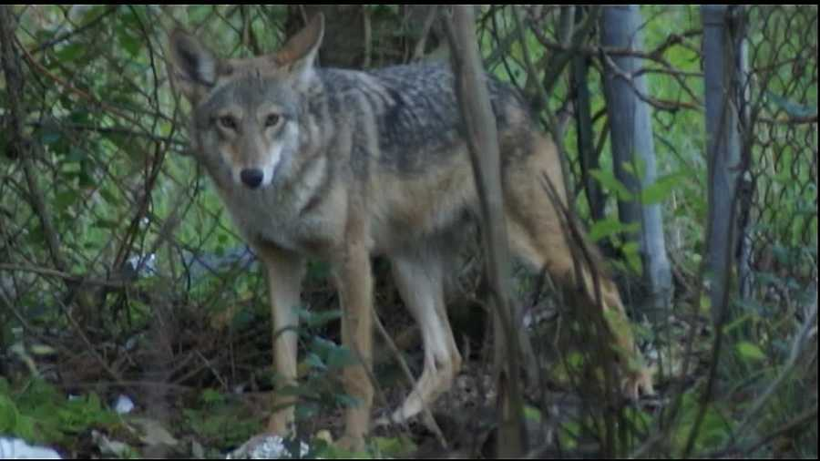 In the St. Roch area, residents say an abandoned lot has attracted a new neighbor, a coyote that only comes out at certain times of day.