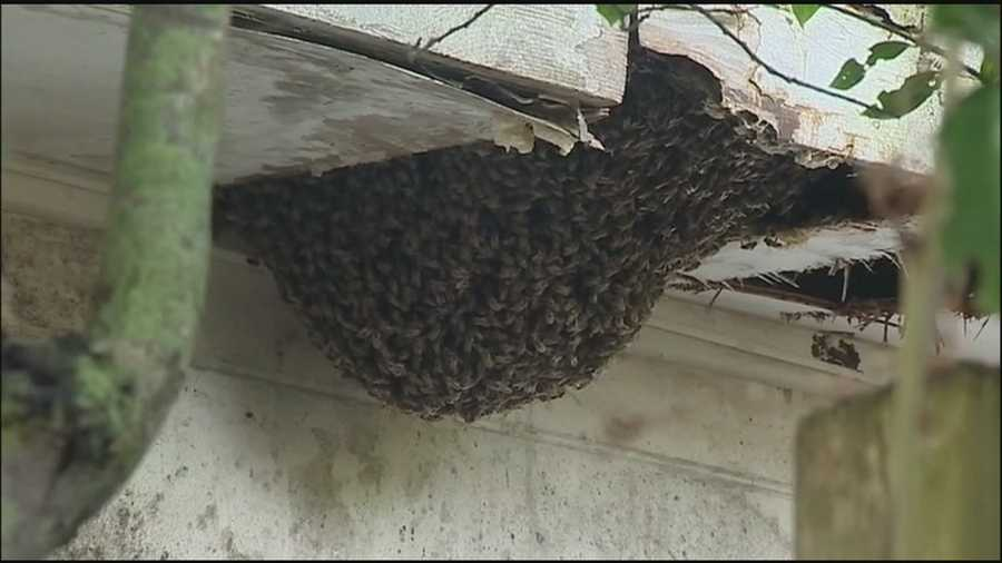 A huge, dangerous bee hive, attached to an abandoned home, is finally being properly removed and the house sealed so the problem won't return.