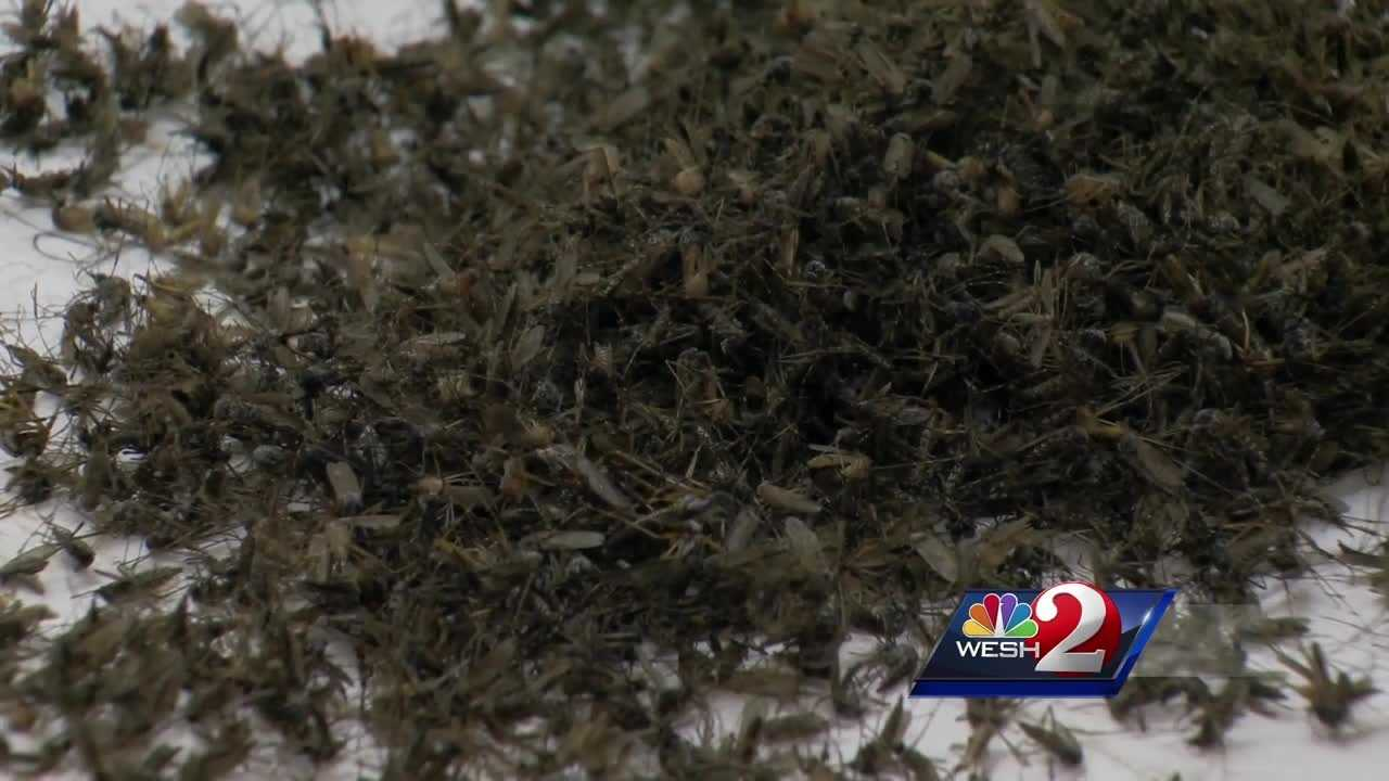 Osceola County citizens will be notified when the aerial spraying takes place to fight disease-carrying mosquitoes. Gail Paschall-Brown reports.