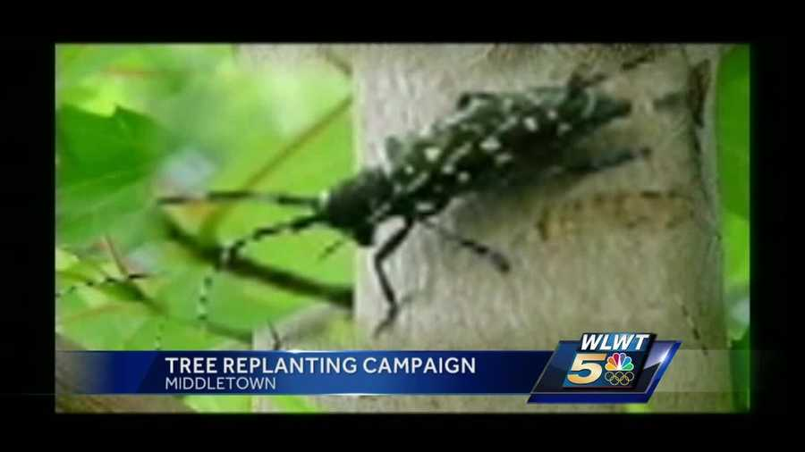 The merciless emerald ash borer began attacking trees in Middletown in 2007. Since then, they've lost 80 percent of their ash tree population, or around 200 trees.