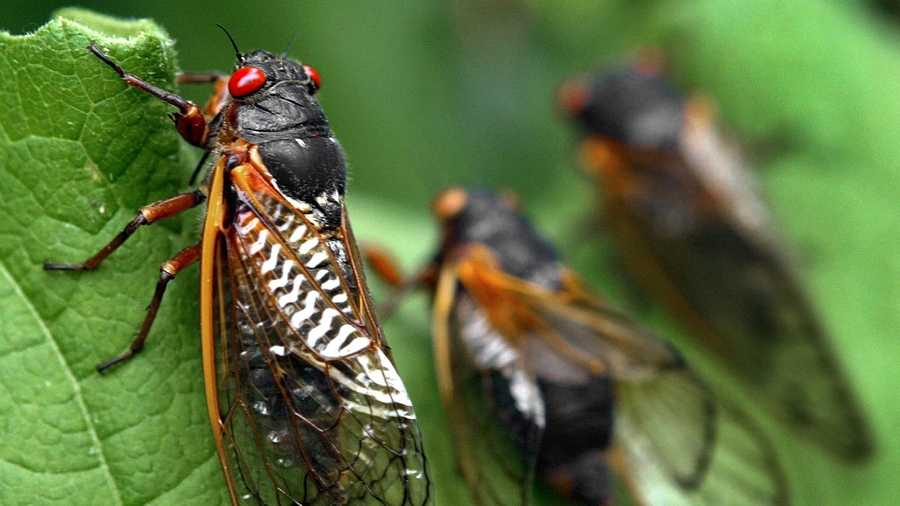 Cicadas on leaf, Annandale, Virginia