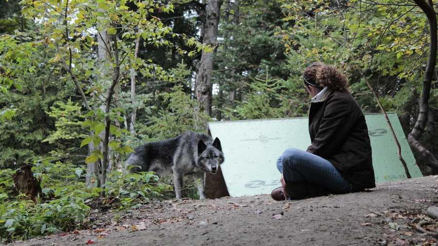 Midnight, an elderly wolf-hybrid, and Deb Turcott, Executive Director of UVHS, assess each other during a bonding protocol exercise.