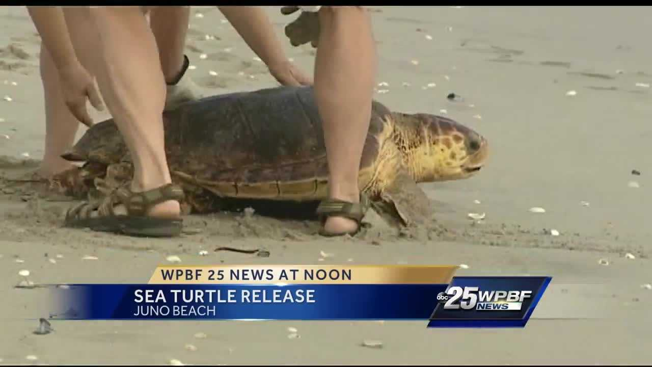 Hundreds showed up at the Loggerhead Marinelife Center in Juno Beach to witness a sea turtle recovery and journey back into the ocean. Jimmie Johnson reports.