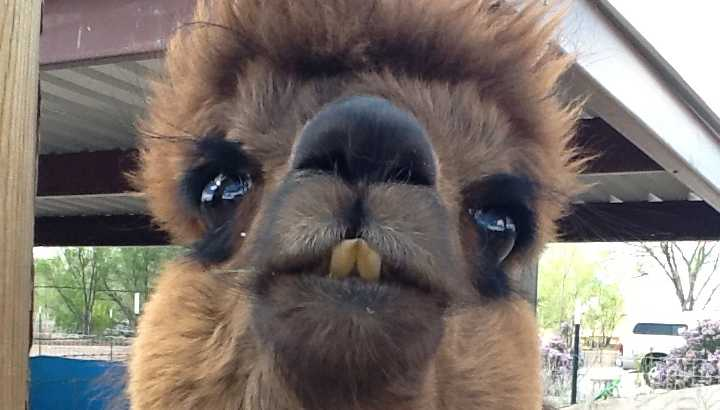 Close up of an alpaca