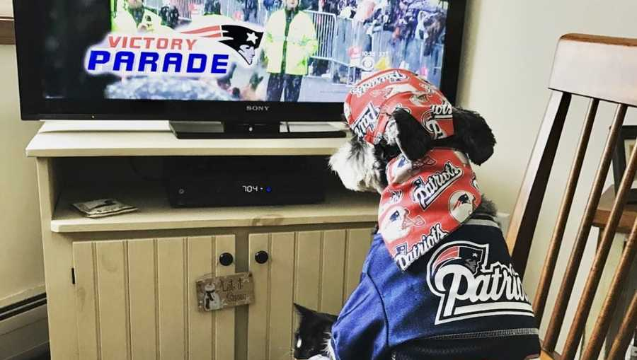 Pat and Jim Sims are hopeful their mini-schnauzer named Brady will be watching another victory parade after the super bowl Sunday.