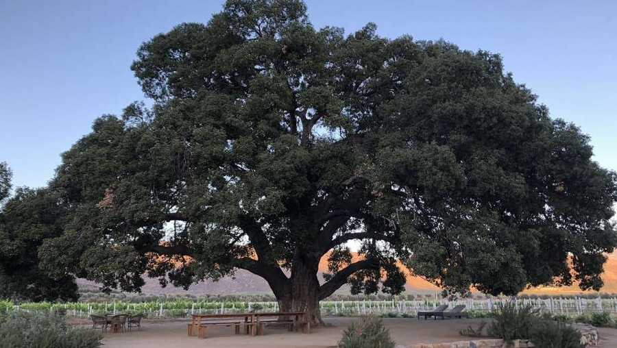 File - An ancient oak tree in Valle de Guadalupe.