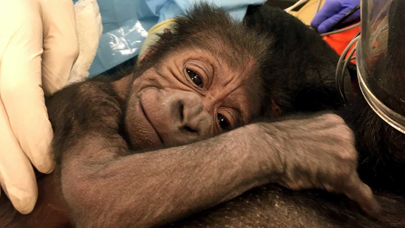 This photo provided by the Philadelphia Zoo shows a newly born western lowland gorilla resting on its mother Kira in Philadelphia. Kira had a difficult labor that required medical techniques typically used for delivering human babies. Due to concerns about her and the baby's health, the zoo brought in a team from the veterinary and human medical field. After 1 ½ hours the team delivered the baby, Friday, June 2, 2017, using forceps and episiotomy.