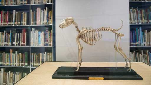 This Wednesday, Jan. 9, 2019, photo shows the skeleton of Belgrave Joe, the foundation sire of both fox terrier wire and smooth bloodlines, on display at the library of the American Kennel Club Museum of the Dog in New York. The museum opens Feb. 8.