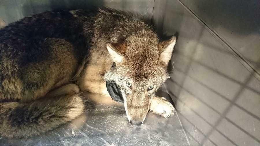 This photo taken on Thursday, Feb. 21, 2019 and released by the Estonian Union for the Protection of Animals, shows an approximately one-year old male wolf suffering from shock and hypothermia in an animal shelter near Parnu River, Estonia. Estonian construction workers got the shock of their lives when they found out the animal they saved from an icy river was not a dog but a wolf. (Estonian Union for the Protection of Animals via AP)