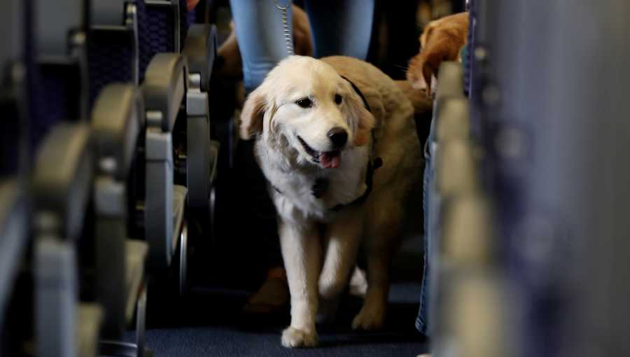 A service dog strolls through the aisle inside a United Airlines plane at Newark Liberty International Airport while taking part in a training exercise in Newark, N.J.