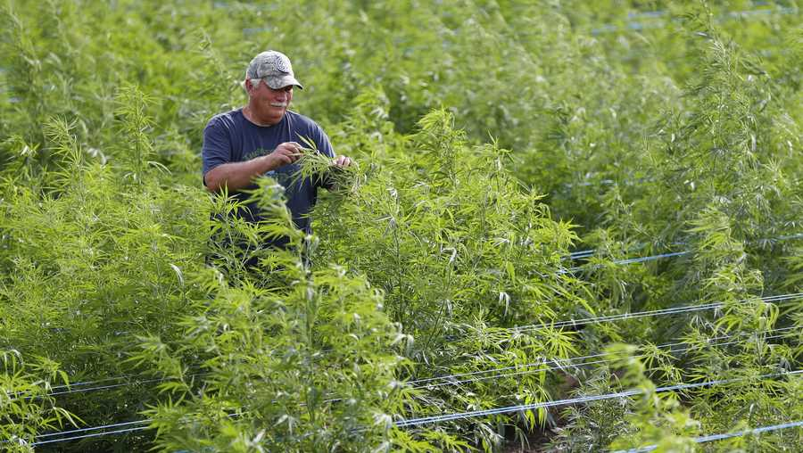 In this Aug. 21, 2019, photo, Dave Crabill, an industrial hemp farmer, checks plants at his farm in Clayton Township, Mich. The legalization of industrial hemp is spurring U.S. farmers into unfamiliar terrain, tempting them with profits amid turmoil in agriculture while proving to be a tricky endeavor in the early stages. Up for grabs is a lucrative market, one that could grow more than five-fold globally by 2025, driven by demand for cannabidiol. The compound does not cause a high like that of marijuana and is hyped as a health product to reduce anxiety, treat pain and promote sleep. (AP Photo/Paul Sancya)