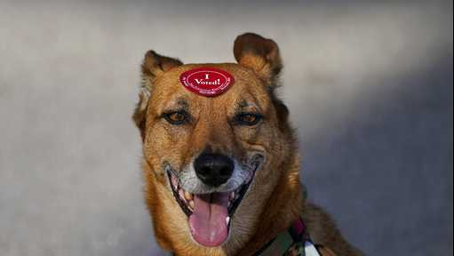 Rick Davis' dog Wiley wears an I Voted sticker placed on his head after Davis dropped off his ballot at a San Francisco Department of Elections drop-off location at the Chase Center in San Francisco, Monday, Nov. 2, 2020, ahead of Election Day. (AP Photo/Jeff Chiu)