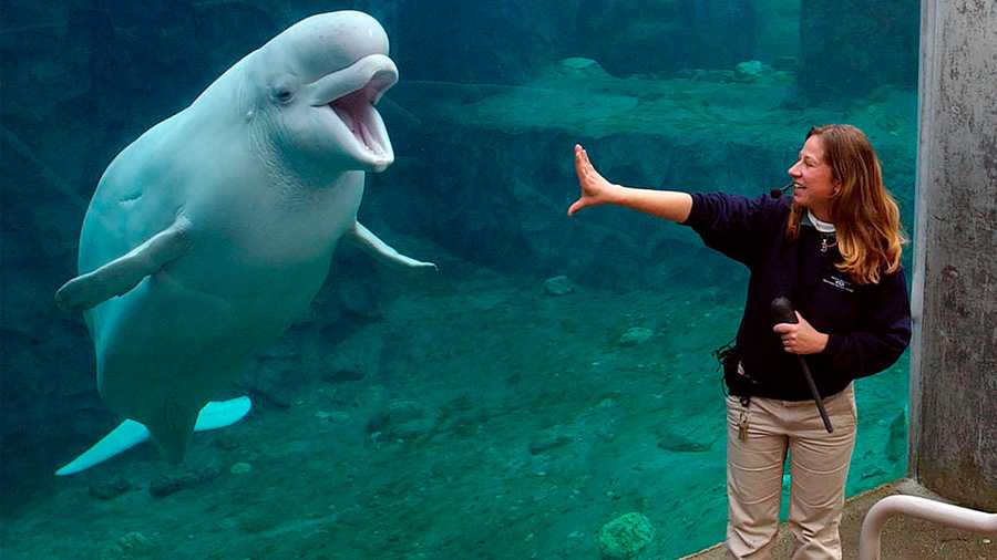 In this Oct. 20, 2004 file photo, trainer Lynn Marcoux works with Naku, a beluga whale at Mystic Aquarium in Mystic, Conn. A proposal to import five whales to Connecticut has sparked a standoff between animal welfare groups and an aquarium that says the animals will contribute to its research. Mystic Aquarium wants to import the captive-born beluga whales from Marineland of Canada in Niagara Falls, Ontario. The Connecticut aquarium, where belugas have been a popular attraction for generations, says the acquisition of the whales would enable research that helps protect the species.(AP Photo/Jessica Hill, File)