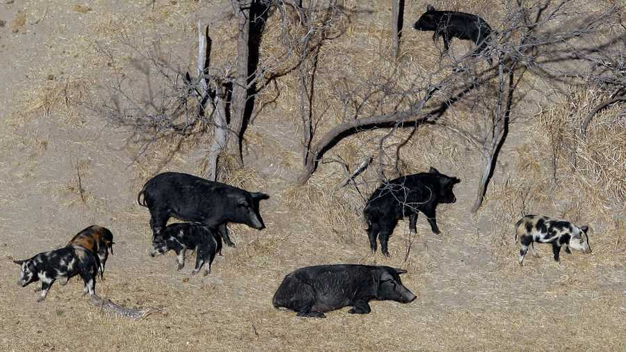 In this Feb. 18, 2009 file photo, feral pigs roam near a Mertzon, Texas ranch. Police in a Maine town say they need the public's help locating feral pigs, if there are any living in the area.