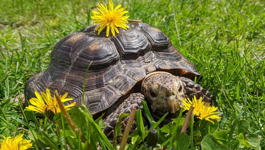 ms jennifer, a 53 year old tortoise, is up for adoption