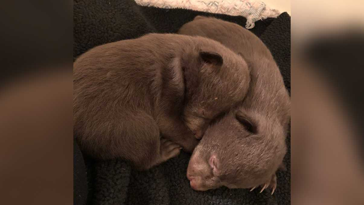 Abandoned bear cubs found in NorCal prompt investigation