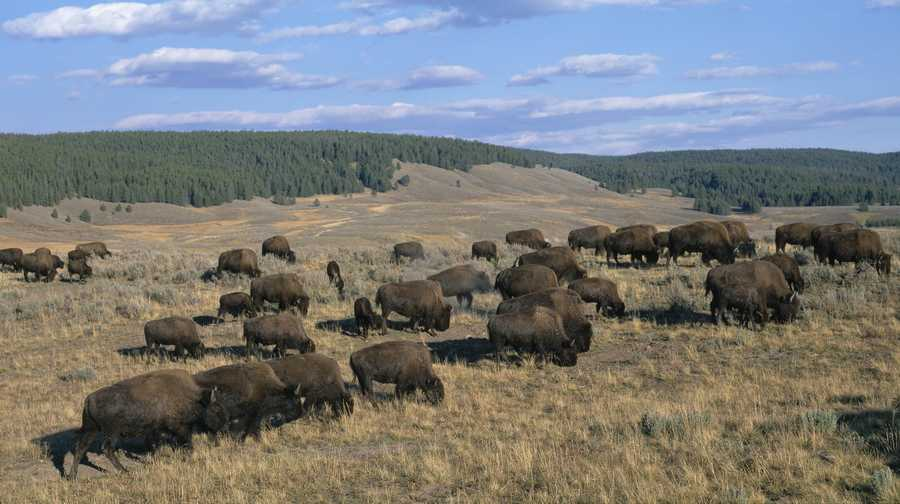 A herd of bison at Yellowstone National Park.