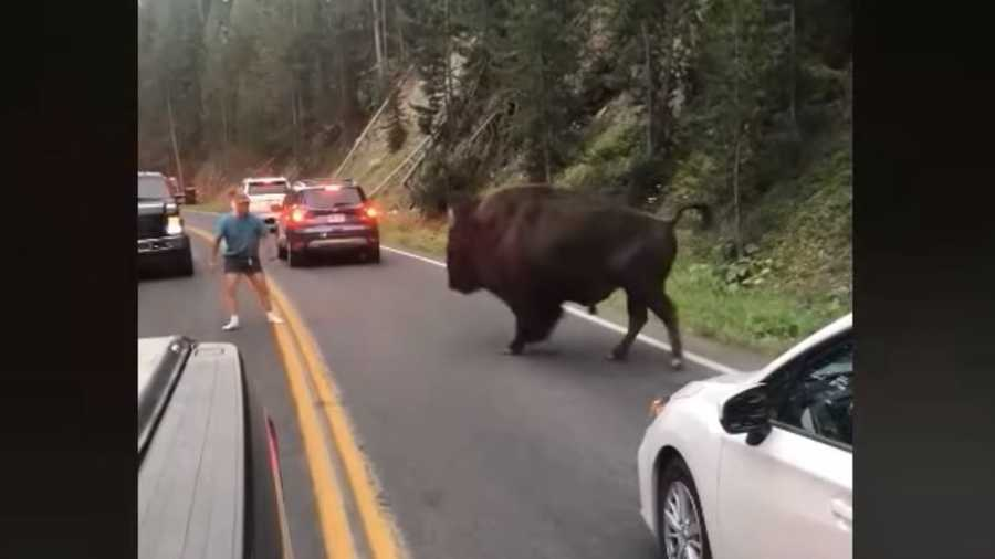 A man was caught on camera taunting a bison at Yellowstone National Park