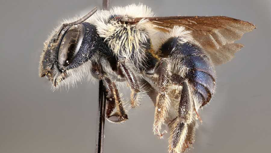 "the metallic navy insect, a blue calamintha bee, had only been previously found in four areas ""totaling just 16 square miles of pine scrub habitat at central florida's lake wales ridge,"" the florida museum said"