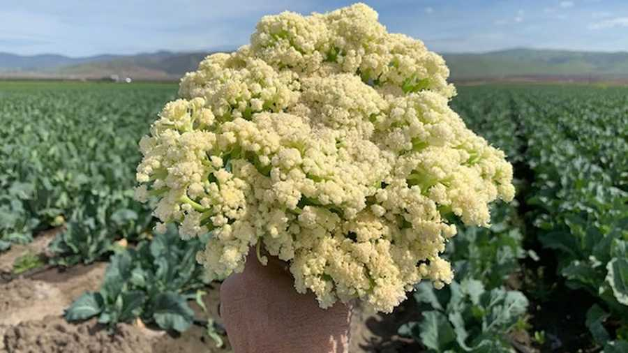 "The folks who brought you ""broccolini"" have now developed a new strain of cauliflower called ""caulilini."""