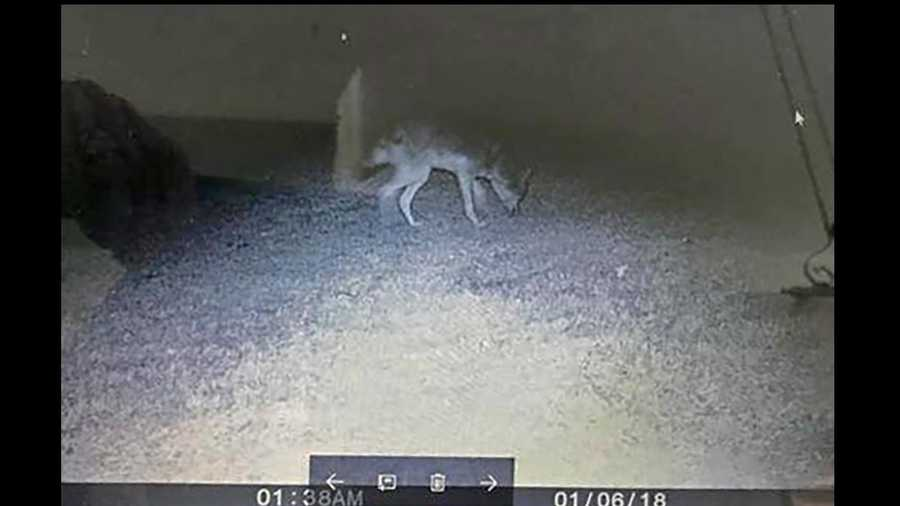 Coyote caught on camera