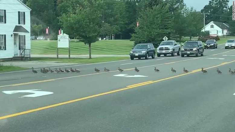 Why did nearly 50 ducks cross the road? It's not a joke -- it really happened.
