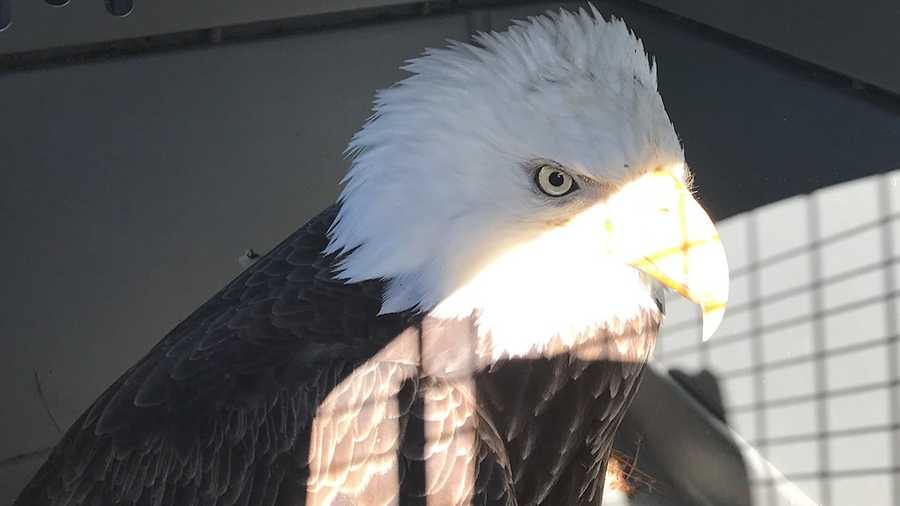 A bald eagle believed to be suffering from toxic lead poisoning was evacuated from North Haven Island in Knox County on Friday.