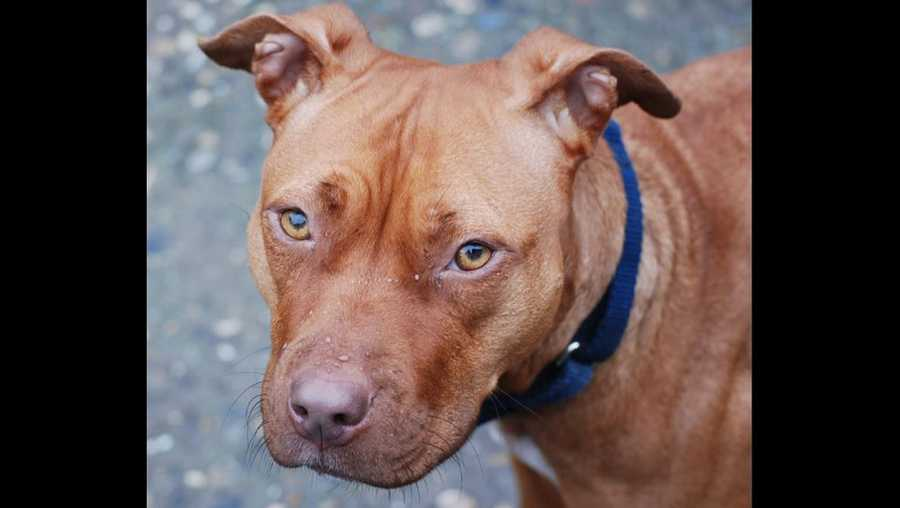 Pit bull, file photo by Stacy, Flickr