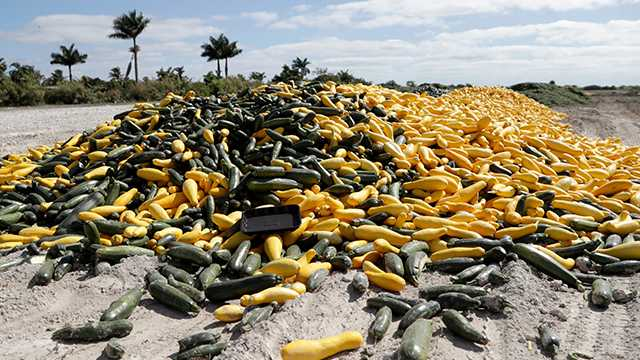 In this March 28, 2020, photo, a pile of ripe squash sits in a field, in Homestead, Fla. Thousands of acres of fruits and vegetables grown in Florida are being plowed over or left to rot because farmers can't sell to restaurants, theme parks or schools nationwide that have closed because of the coronavirus.