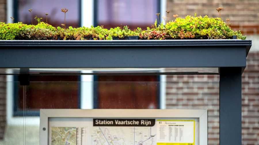 A picture taken on Aug. 17 shows a view of a bus shelter with a green roof in Utrecht. The plant is a sedum, a type of succulent that requires little soil.