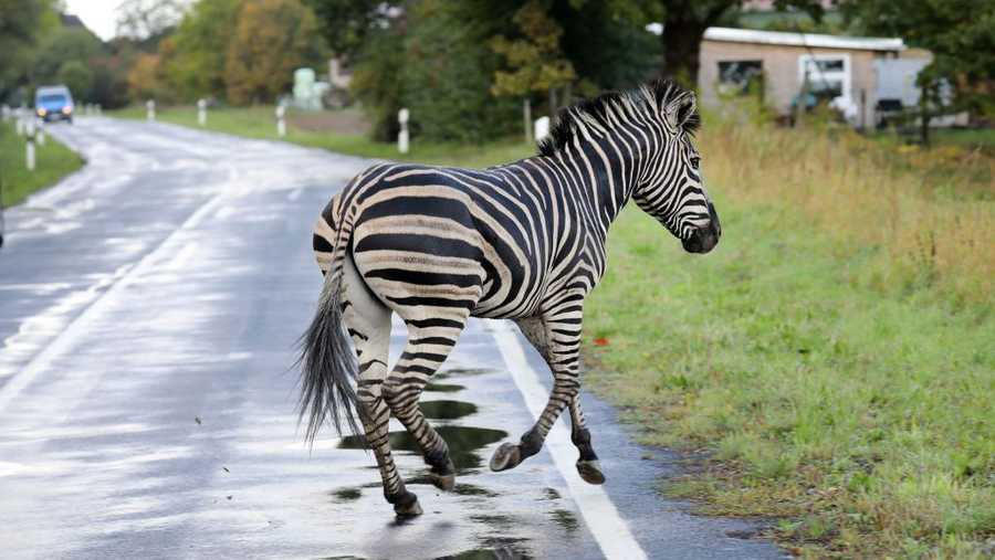 A zebra runs across a road on October 2, 2019 in the village of Thelkow, north-eastern Germany, after the animal had broken out of a circus with a fellow animal nearby, and had caused an accident on the A20 motorway in the area. - The other zebra had already been captured. (Photo by Bernd WUESTNECK / dpa / AFP) / Germany OUT (Photo by BERND WUESTNECK/dpa/AFP via Getty Images)