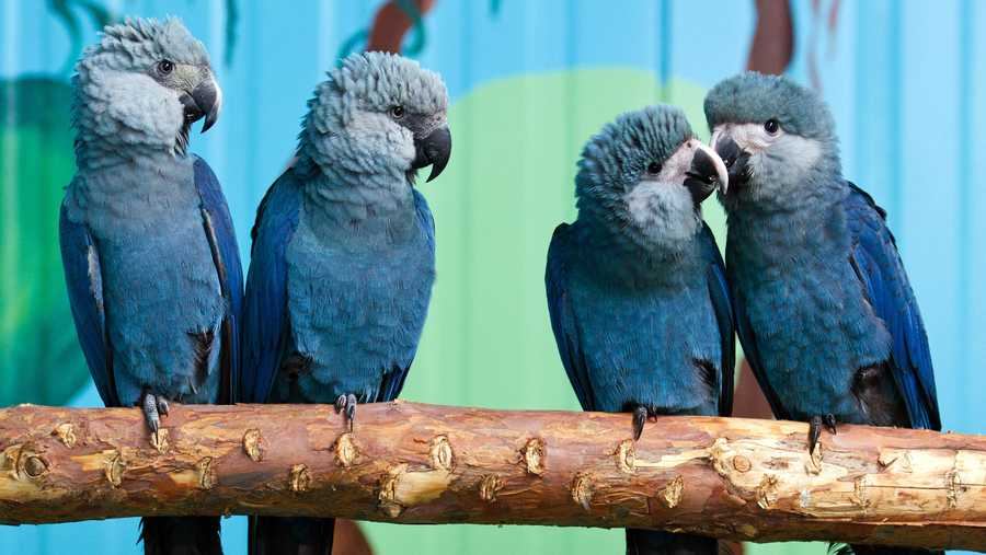 Spix's macaws file photo