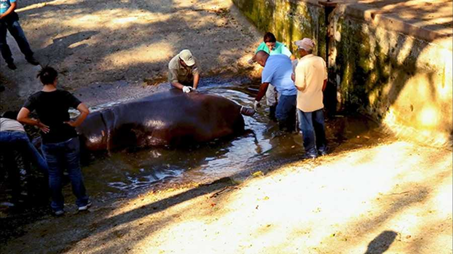 Police in El Salvador are investigating an attack at the National Zoological Park that killed a hippopotamus named Gustavito.