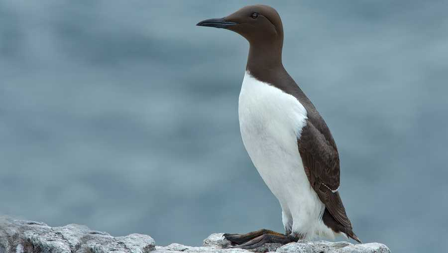 A common murre, a fish-eating seabird of the North Pacific, were part of one of the largest mass die-offs in recorded history.