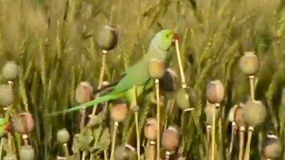 Poppy farmers in India are saying their crops are being damaged by parrots that have become addicted to the opium in their plants.